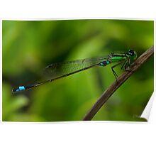 Damselfly, March Bluetail. (Ischnura senegalensis) Poster