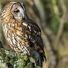 Tawney Owl by Alan Forder
