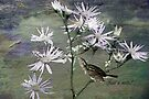 Just A Note - Wild Aster by Sandra Foster