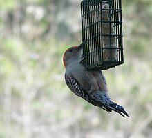 Red Bellied Woodpecker by Kelli Short