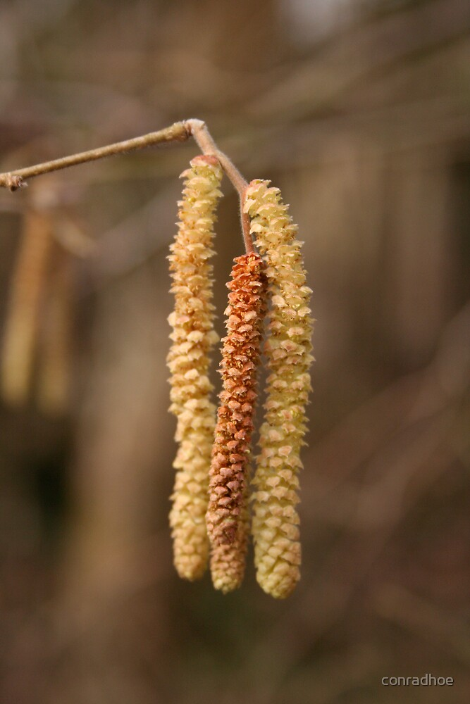 Catkins by conradhoe