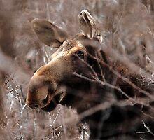 Moose - South Fork Canyon, Utah by Ryan Houston