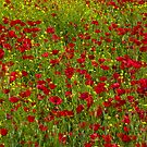 Poppy field by kevomanno
