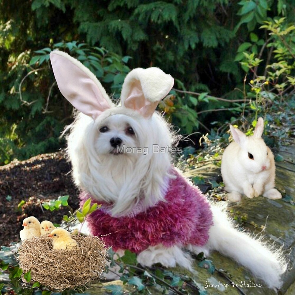 Snowdrop the Maltese - Ready for Easter by Morag Bates