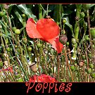 Poppies by Rowan  Lewgalon