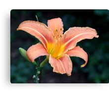 Apricot Lily Canvas Print