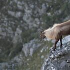 Himalayan Tahr by Benjamin Johnston