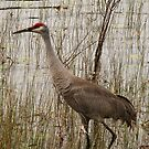 Florida Sandhill Crane  by Rebecca Cruz