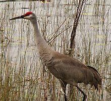 Florida Sandhill Crane  by Rebecca Cruz