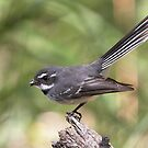 Grey Fantail ~ &quot;Meal Break&quot; by Robert Elliott