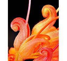 grevillea macro 2 Photographic Print