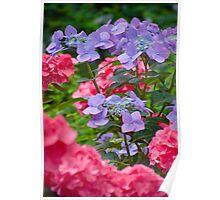 Bigleaf Hydrangea Flowers Poster