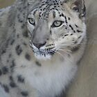 snow leopard by sassey