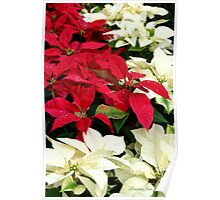 Poinsettias Sprinkled with Raindrops Poster