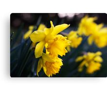 Daffodil Day Canvas Print