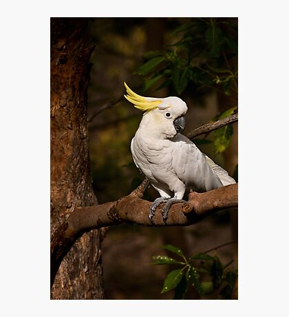Morning visitor - sulphur-crested cockatoo Photographic Print