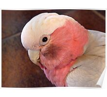 You Put Your Face In A Coal Bucket And See How You Look!!! Galah - NZ Poster