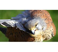 Feather Preening  Photographic Print