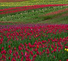 Monet Alive-tulip fields by Eti Reid