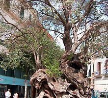 Olive Tree by Tom Gomez