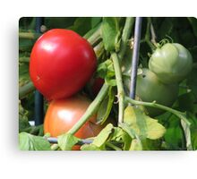 Tomatoes on the Vine Canvas Print