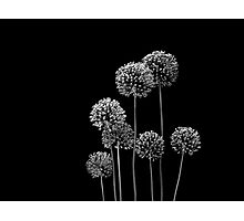 Allium Array Photographic Print