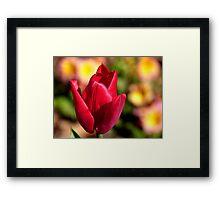 Indulgence - Red Tulip -NZ Framed Print