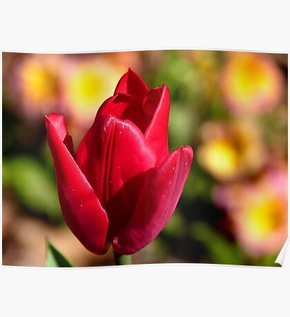 Indulgence - Red Tulip -NZ Poster