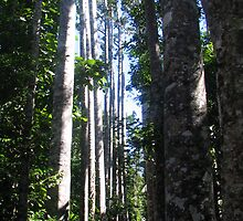Kauri Pines by Sue Wickes