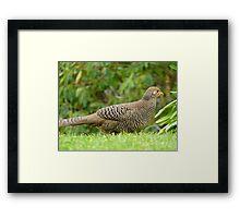 Aww Shoot!!.. All The Good Nesting Spots Are Taken!! - Female Golden Pheasant - NZ Framed Print