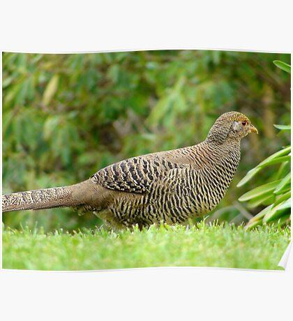 Aww Shoot!!.. All The Good Nesting Spots Are Taken!! - Female Golden Pheasant - NZ Poster