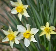 Daffodils by Joe Bledsoe
