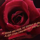 Blood Red Rose by picketty