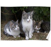 3 kittens Poster