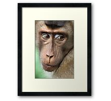 Watching Carefully. Pig-tailed Macaque Portrait. Borneo.  Framed Print