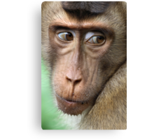 Watching Carefully. Pig-tailed Macaque Portrait. Borneo.  Canvas Print