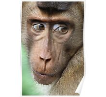 Watching Carefully. Pig-tailed Macaque Portrait. Borneo.  Poster