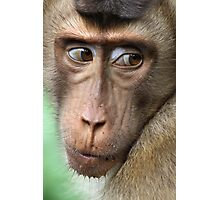 Watching Carefully. Pig-tailed Macaque Portrait. Borneo.  Photographic Print