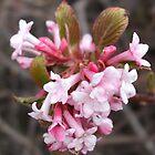 Viburnum Blossom by pat oubridge