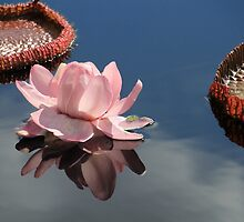 Water Lily Reflection by Rosalie Scanlon