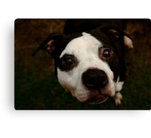 Superman Dan - Pit Bull Canvas Print