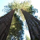 Baby Sequoias by MickaelaGood