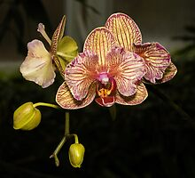 Orchid flower hnk33 photography by halnormank
