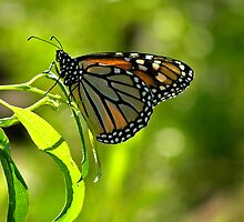 Monarch Butterfly by Patty Boyte
