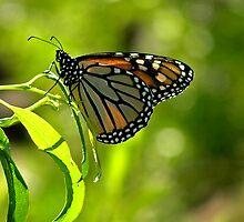 Monarch Butterfly by Patty Boyte