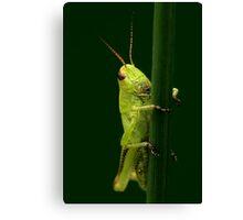 Meadow Grasshopper Canvas Print
