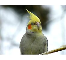 Aww!! You Made Me Blush.. - Cockatiel - NZ Photographic Print