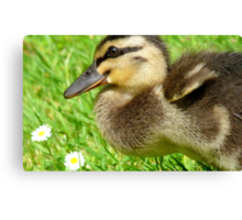 Daisy, Daisy, Give Me Your Answer Do...Duckling - NZ Canvas Print