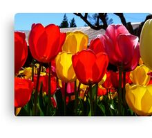 Natures Cups Are Always Full...Tulips - NZ Canvas Print