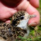 I'm Not Fully Masked Yet... Baby Plover - NZ by AndreaEL